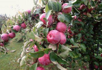 Imants, manzana: Descripción de la variedad y fotos