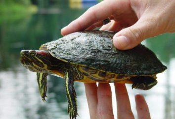 Żółw żółw: rozmiar, zdjęcie. Maksymalny rozmiar żółwia czerwonego