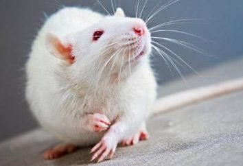 Interpretazione dei sogni: sogno di ratti bianchi qualcosa