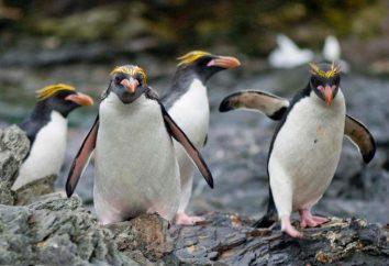Macaroni penguin – la più attraente rappresentante della sua famiglia