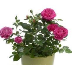 Comment prendre soin de roses dans un pot: conseils pour les débutants fleuristes