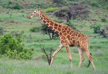 girafe de langue et d'autres caractéristiques du plus haut mammifère dans le monde