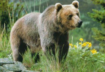 Riddle sobre um urso crianças: ajudar seu filho aprender sobre este animal um monte de novo