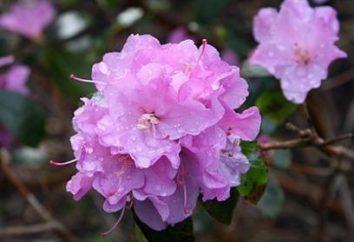 entretien saisonnier: abri rhododendrons pour l'hiver