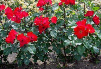 Rose «Robusta» (Robusta): semina e la cura