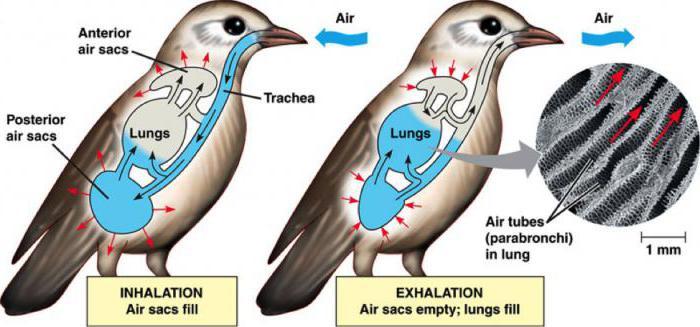Das Atmungssystem von Vögeln: Funktion, Struktur
