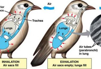 Il sistema respiratorio dei volatili: funzione, struttura
