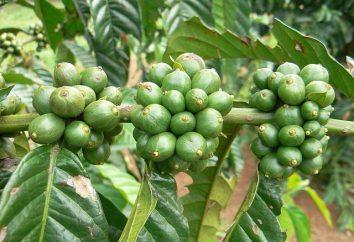 """""""Tropicana café fino verde"""" ( """"Evalar"""") para perda de peso: comentários e princípio de funcionamento"""