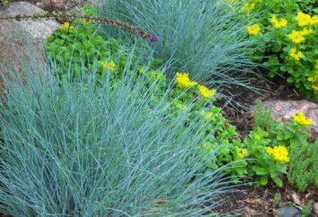 Erba ornamentale Festuca Blu: descrizione, foto, semina e la cura