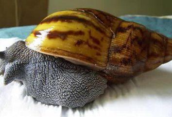Ślimaki Achatina w kosmetologii: opinie, zdjęcia, przeciwwskazania. Jak korzystać z ślimaki Achatina w kosmetologii?