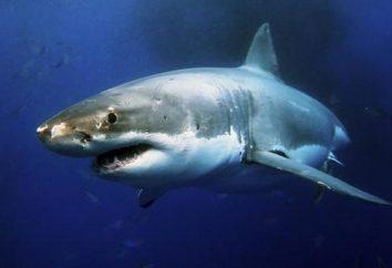 Shark roche: description et les photos