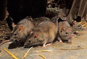 Quali sono i topi? ratto grigio. ratto decorativo
