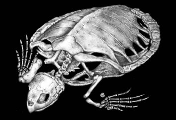 Esqueleto de tartarugas: características de uma estrutura e uma foto