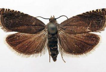 Pest dans le jardin – papillon de nuit. Comment y faire face?