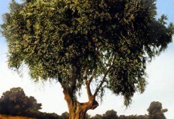 Olive Tree – una fonte di olio prezioso