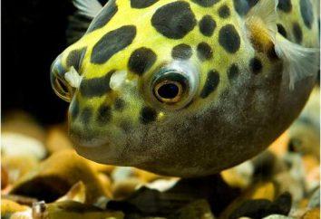 Tetradon Zwerg: der Inhalt und Fotos. Fisch Tetradon: Beschreibung