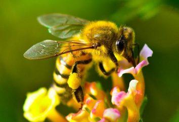 Cómo comer miel, para obtener el máximo beneficio