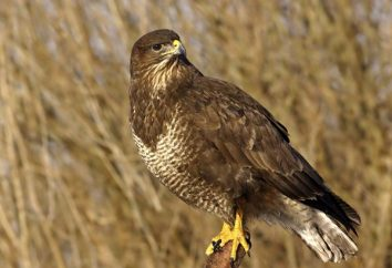 Buzzard (ptak): opis, zdjęcia. Zasilanego myszołów ptak?