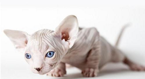 Si Consideri La Razza Di Gatti Senza Pelo