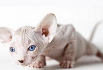 Rozważmy rasy bezwłosych kotów