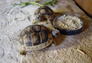 Co karmić żółwia lądowego, aby zdrowsze?