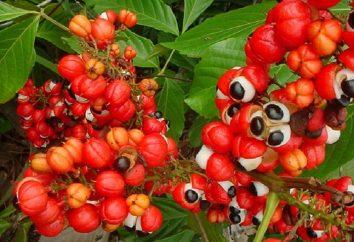 Guarana – è quella pianta?