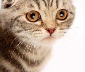 Jak dbać o kociaka-Brit? Kilka porad