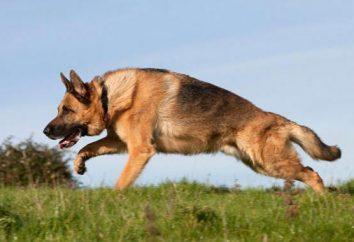 Waga Owczarek niemiecki puppy miesięcy. Jak wybrać i co karmić owczarka niemieckiego szczeniaka?