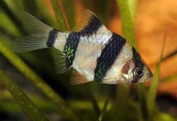 barbillons compatibilité avec d'autres poissons dans l'aquarium
