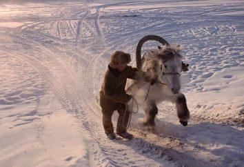 cavallo Yakut: caratteristiche, l'allevamento e la dieta necessaria