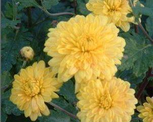 En cuanto a los crisantemos refugio de invierno en el jardín?