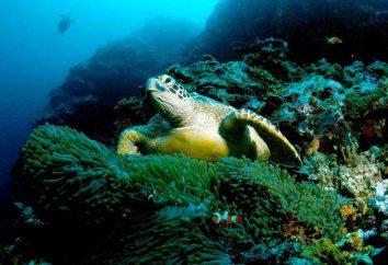 A tartaruga de mar verde famoso?