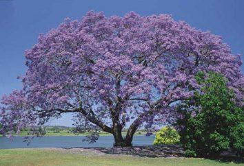 Jacaranda (árvore violeta) cresce na Rússia se e onde? Onde cresce Jacaranda (violet wood)?