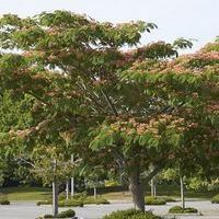 Lenkoran acacia – seta meraviglia naturale