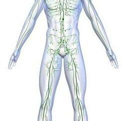 Narządów układu odpornościowego. Funkcja układ odpornościowy