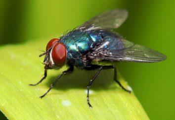 Histoire phraséologisme « Les mouches ne fait pas mal »: l'origine, le sens et l'interprétation