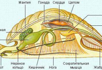 émonctoires à mollusques. La structure du coquillage