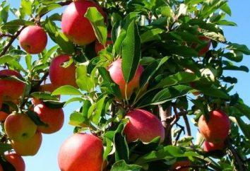 Melo: piantagione e cura delle piantine