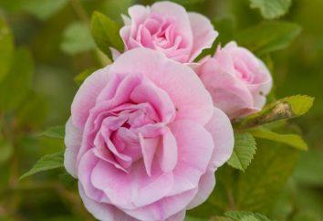Rose Martin Frobisher – szlachetny i elegancki. Zalety i wady