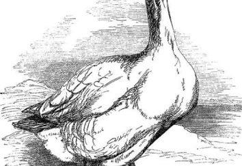 Comment dessiner une oie belle?