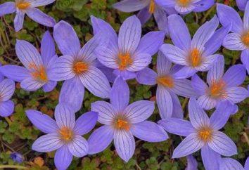 fiori Colchicum nella zona del giardino