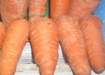 Come far crescere le carote sul tuo sito in modo che sia contento e sorpreso coloro che vi circondano