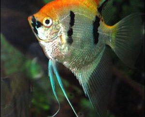 Skalary. Kompatybilność z innymi gatunkami ryb