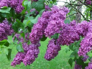 Cinque motivi per non fioritura lilla