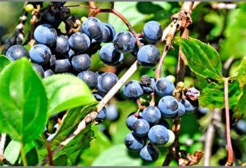 Braga z winogron: ciekawy wynik
