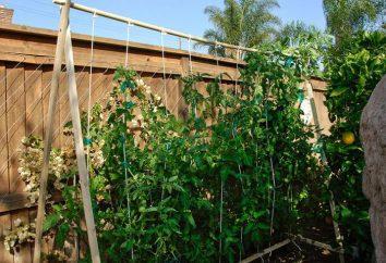 Tomaten Paradies Vergnügen: Bewertungen, Beschreibungen, Wachstumsbedingungen, Ausbeute
