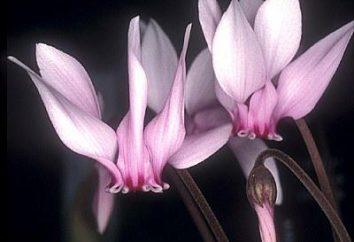 Cyclamen: le berceau de la plante. Cyclamen: variétés, la culture et les soins à domicile
