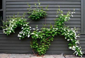Variegada Actinidia kolomikta: plantio e cuidados
