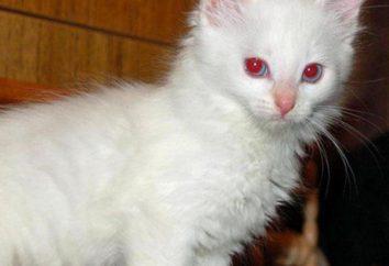 gato albino: una descripción de la naturaleza y características del contenido. gen albinismo