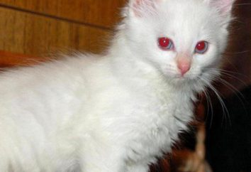 Albino cat: opis cech charakteru i treści. gen bielactwo